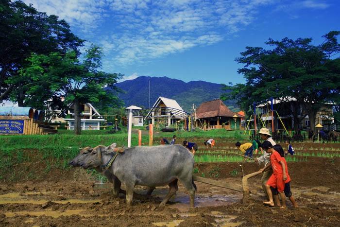 pertanian dan membajak sawah 3